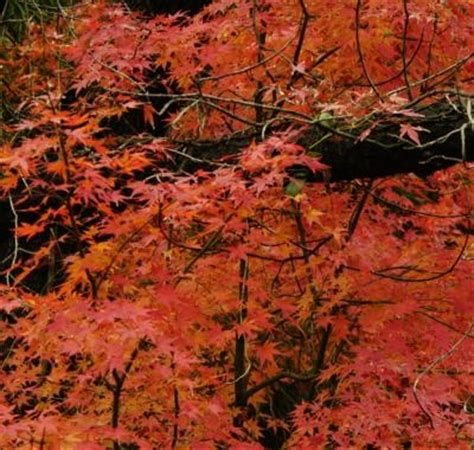 maple tree symbolism cidyjufun japanese maple leaf meaning