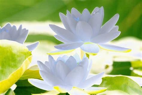 fiore di ninfea significato bouquet di matrimonio ad ogni segno il suo fiore