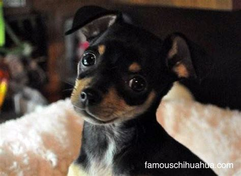 craigslist chihuahua puppies for sale craigslist puppies dogs breeds picture