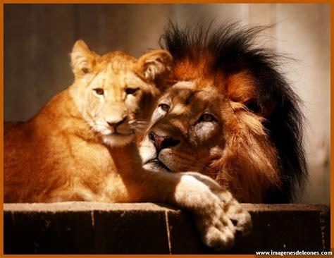 imagenes de leones haciendo el amor imagenes de pareja de leones archivos imagenes de leones