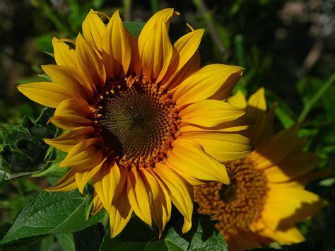 sunflower nature of the world