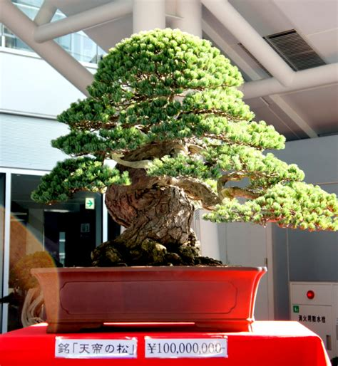 Ginseng Termahal bonsai newzealandteatrees bonsai page 2