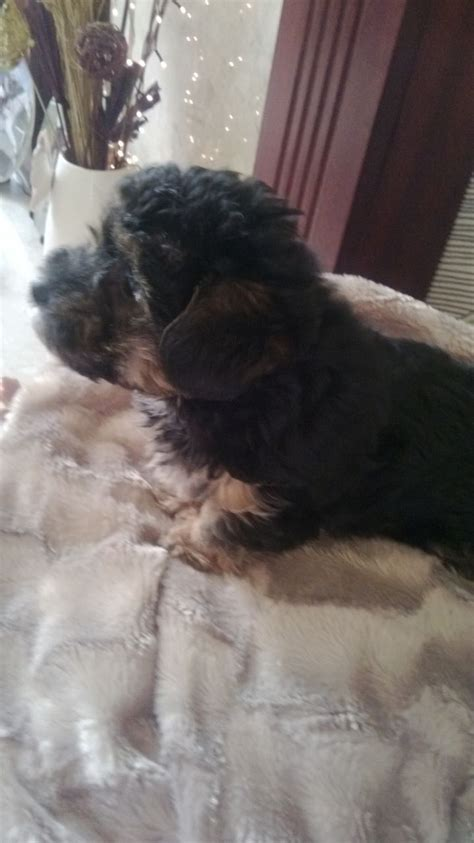 poodle x yorkie poodle x yorkie bishop auckland county durham pets4homes