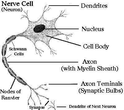 Nerve Cell Detox by Neuron Cell Health School Free Herbalist