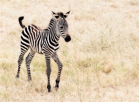 Baby Zebra everything babyish images baby zebra hd wallpaper and