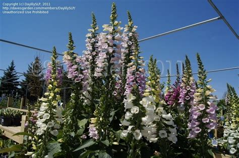 Gardens West Bloomfield by Plantfiles Pictures Foxglove Common Foxglove Purple