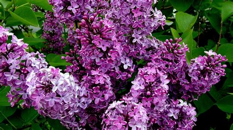 lilacs bush lilac wallpapers wallpaper cave