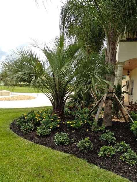 planting fan palm trees 91 best images about buy cold hardy palm trees on pinterest
