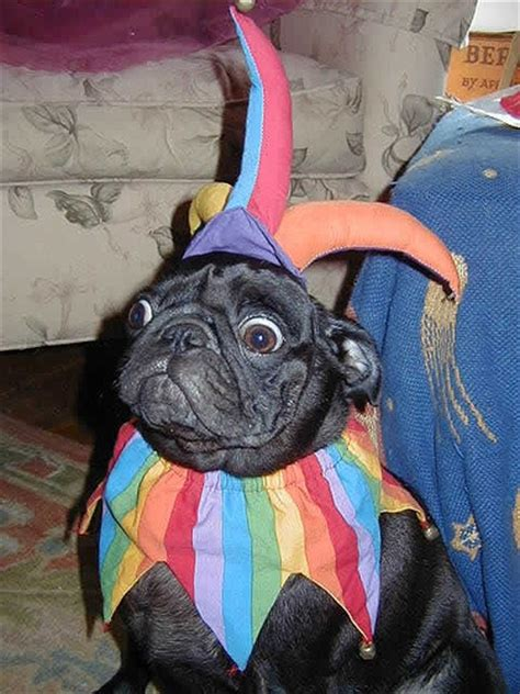 tell me about pugs joker pug tell me a joke pugs