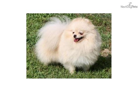 pomeranians for sale in tennessee pomeranian puppy for sale near nashville tennessee 66538741 b5f1