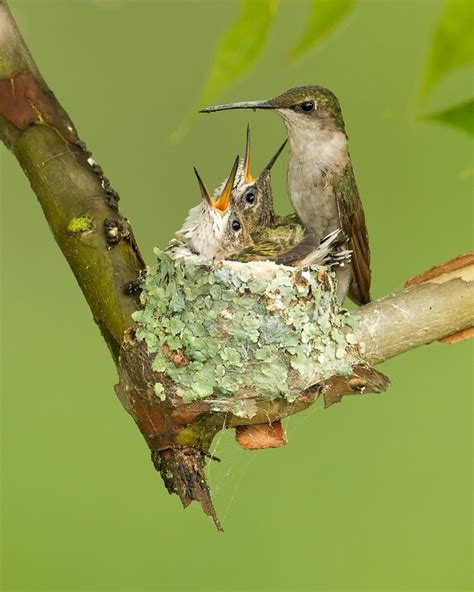 ruby throated hummingbird nest