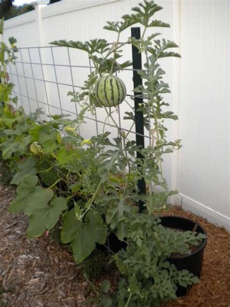 grew tiny personal sized watermelons   trellis