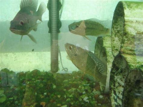 backyard fish farming tilapia 109 best fish farming images on pinterest