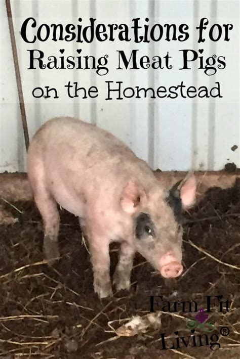 raising backyard pigs raising meat pigs on the homestead successfully djur