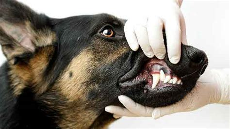 puppy baby teeth retained deciduous teeth in dogs and cats petcarerx