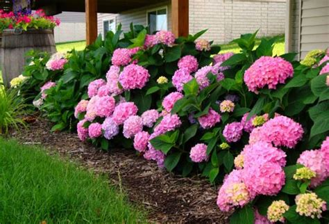 20 ideas for outdoor home decorating with hydrangeas adding exotic feel to garden design