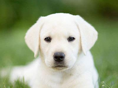 wallpaper dog bdfjade labrador bdfjade
