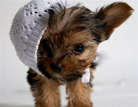 baby yorkies for adoption 25 best ideas about yorkie puppies for adoption on teacup pomeranian