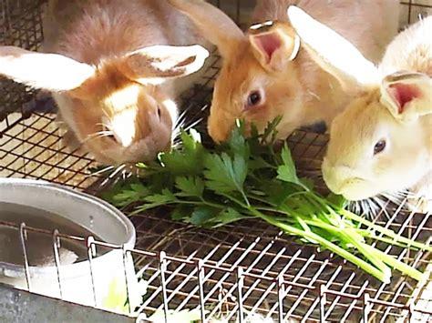 Harga Pakan Kelinci cara membuat pakan kelinci hewan id