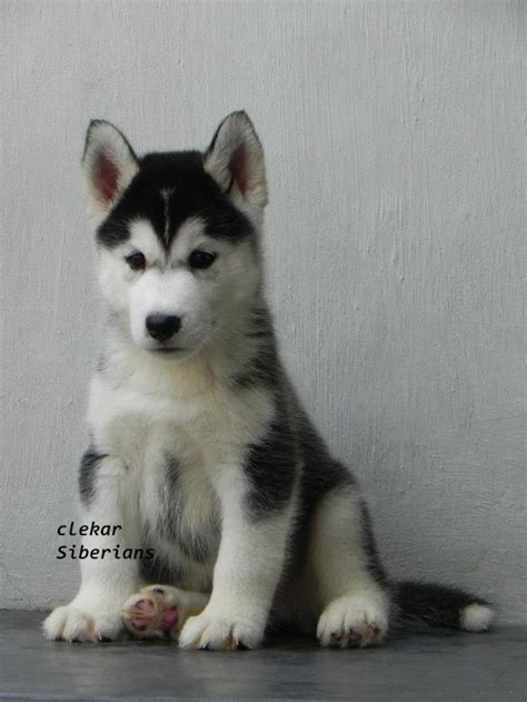 siberian husky puppy price siberian husky puppies for sale i clement navin 1 12801 dogs for sale price of