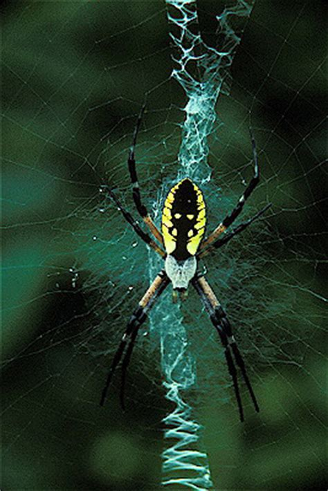 Golden Garden Spider by Golden Garden Spider