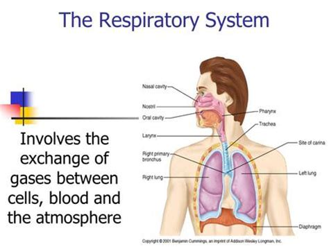 gas exchange minh nguyen quang ppt download respiratory system exchange of gases ppt download