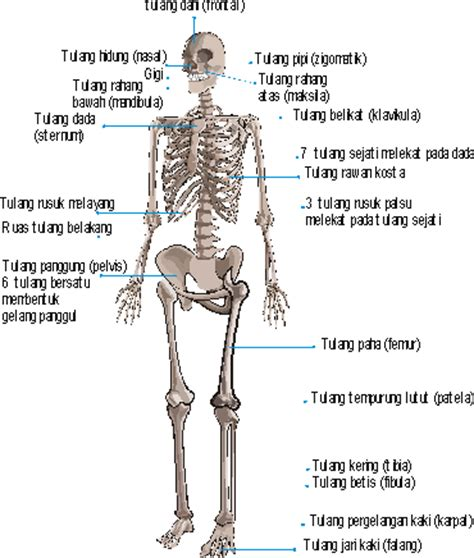Kerangka Manusia anatomi rangka manusia biologipedia