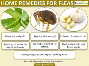 home remedies for fleas 8 efficient home remedies for fleas organic facts