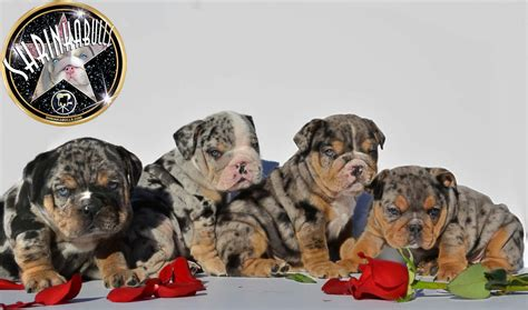 blue merle bulldog puppy bulldog puppies blue merle merle puppies