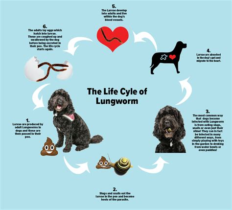 lungworm in dogs facts about lungworm you should easipetcare