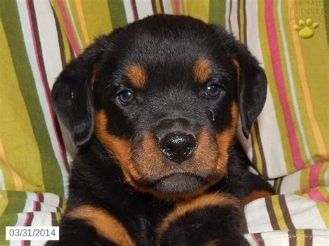 rottweiler puppies in ohio for sale rottweiler puppy for sale in ohio rottweilers