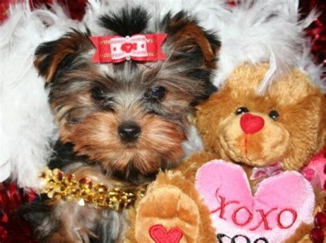 yorkie puppies for sale in alexandria la dogs louisiana free classified ads