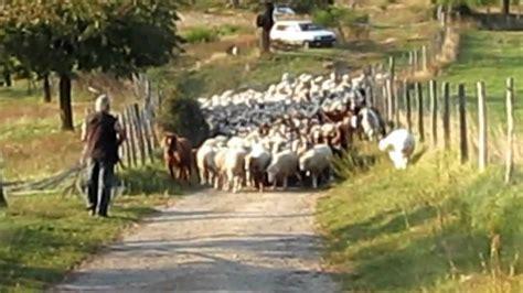 berger le le berger et troupeau
