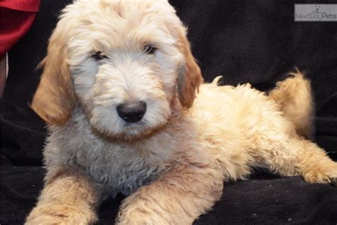 goldendoodle puppies ct puppies for sale from ct s goldendoodles member since june 2013