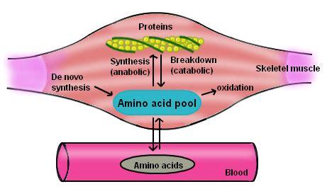 protein catabolism anabolism protein anabolism exles of anabolism
