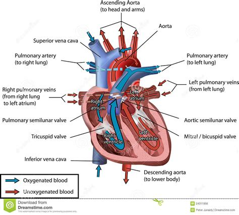 section 3406 a 1 c of the internal revenue code draw a diagram of the vertical section of human heart to