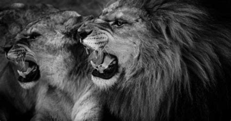 imagenes de leones flacos lion and lioness black and white animales pinterest