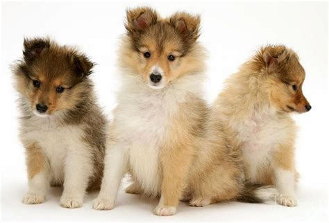 buying puppies the shetland sheepdog puppy