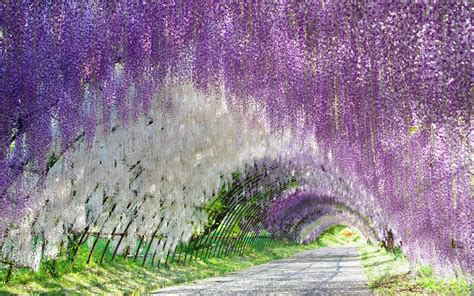 wisteria flower tunnel in japan plant from fairytale wisteria wisteria sinensis