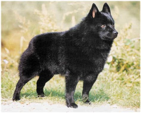 schipperke puppies everything top schipperke