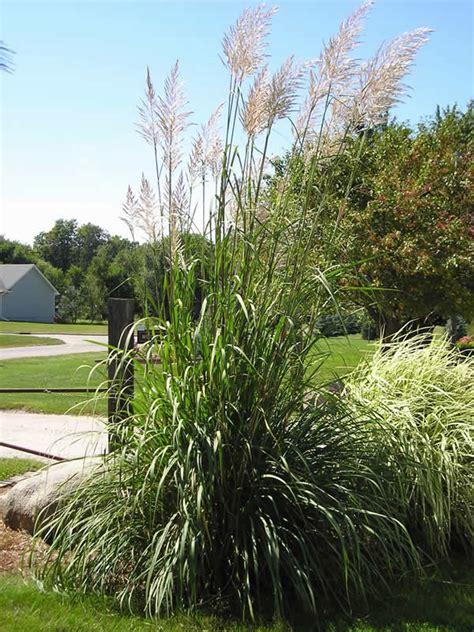 hardy pas grass miller nursery