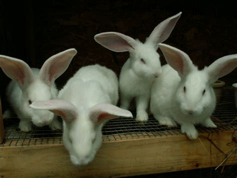 Baby Flamish baby white flemish rabbits flickr photo