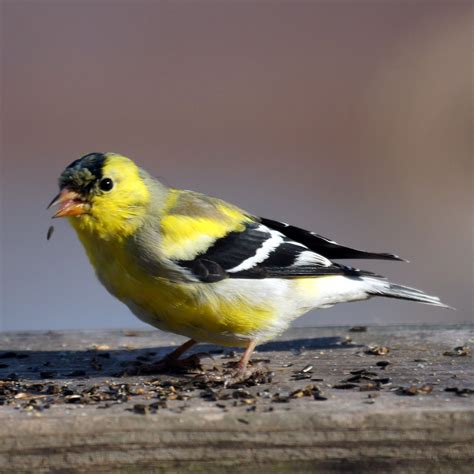 file american goldfinch 5585486698 jpg wikimedia commons