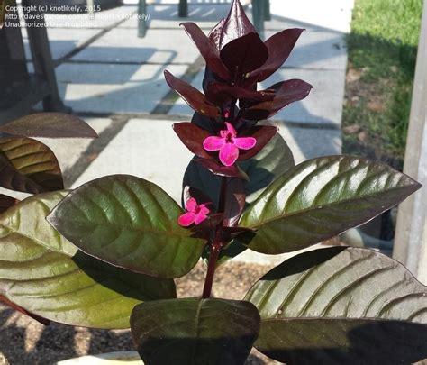 plantfiles pictures purple false eranthemum black