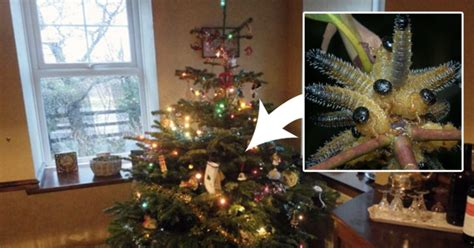 do real christmas trees have bugs if you a real tree there s a chance there are bugs in it