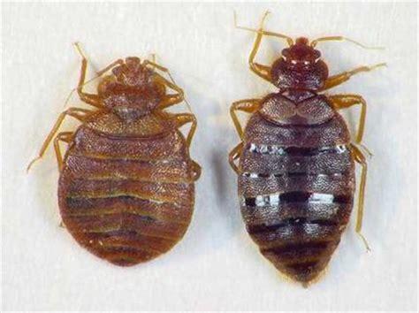bed bug cycle bedbug me