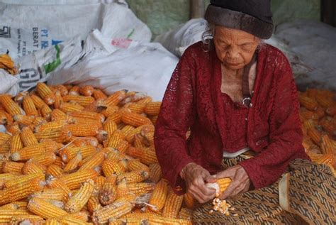 Pakan Ternak Dari Jagung bisnis peternak kesulitan dapat jagung untuk pakan ternak