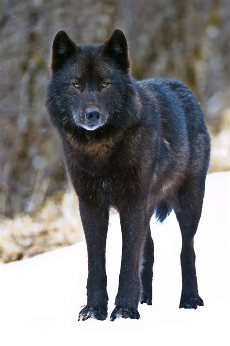 Sle Petition On Threat To Alaska Gray Wolf To Be Considered For Endangered Species Act Protection Latimes
