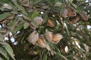 what almonds look like on the tree on the farm jp