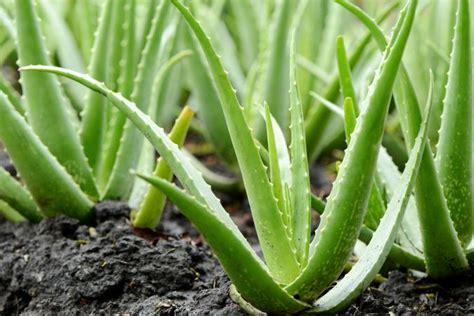Aloevera The Herb by Growing Aloe Vera Plants Lovetoknow
